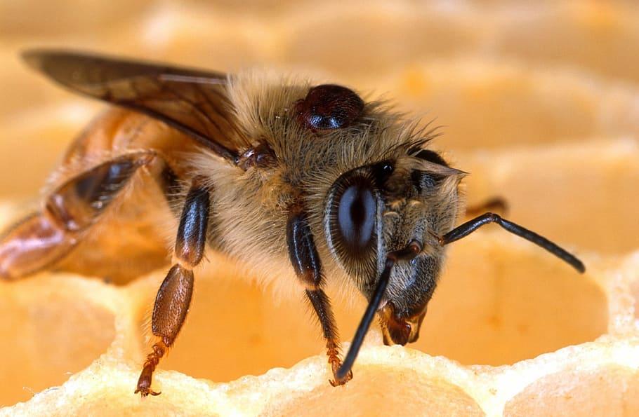 Phoretic mite on bee
